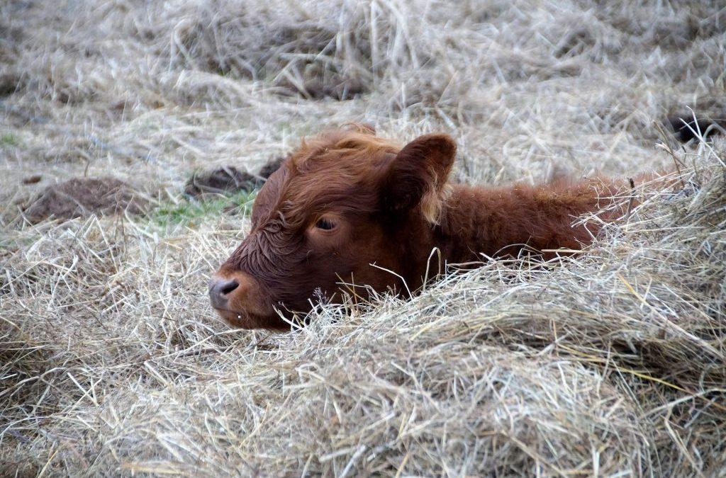 Dairy Calf Housing: Keeping Calves Healthy Indoors