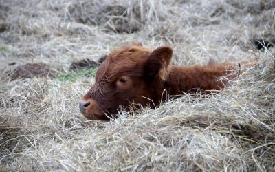 Dairy Calf Housing: Keeping Calves Healthy Indoors