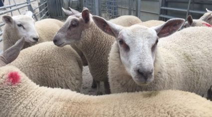 Wormer resistance in sheep